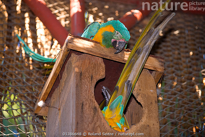 Blue throated / Wagler's macaw (Ara glaucogularis) pair at nestbox, Santa Cruz Zoo, Teneriffe, Canary Islands, Critically endangered species from Bolivia  ,  BIRDS,CANIDE MACAW,CONSERVATION,CRITICALLY ENDANGERED,ENDANGERED,MACAWS,MALE FEMALE PAIR,NESTBOXES,NESTS,PARROTS,PSITTACIDAE,SOUTH AMERICA,TWO,VERTEBRATES,WAGLER'S MACAW,ZOOS  ,  Roland Seitre