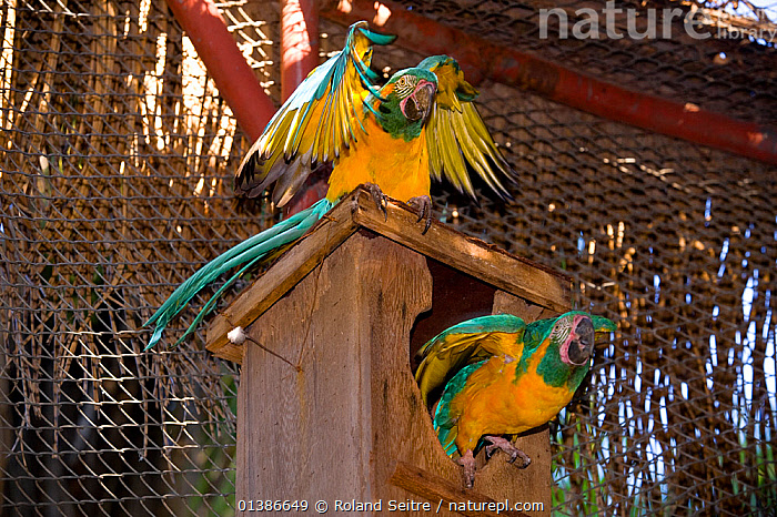 Blue throated / Wagler's macaw (Ara glaucogularis) pair at nestbox, Santa Cruz Zoo, Teneriffe, Canary Islands, Critically endangered species from Bolivia  ,  BIRDS,CANIDE MACAW,CONSERVATION,CRITICALLY ENDANGERED,ENDANGERED,MACAWS,MALE FEMALE PAIR,PARROTS,PSITTACIDAE,SOUTH AMERICA,TWO,VERTEBRATES,WAGLER'S MACAW,YELLOW,ZOOS  ,  Roland Seitre