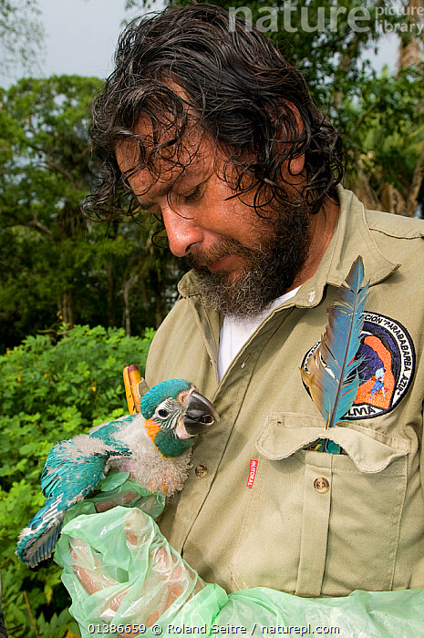 Conservation officer, Hernan Vargas Ayala, checking chicks of the Critically endangered Blue throated / Wagler's macaw (Ara glaucogularis) Trinidad, Beni, Bolivia, January 2008  ,  BABIES,BIRDS,CANIDE MACAW,CHICKS,CONSERVATION,CRITICALLY ENDANGERED,CUTE,ENDANGERED,MACAWS,MAN,PARROTS,PEOPLE,PSITTACIDAE,RESEARCH,SOUTH AMERICA,VERTEBRATES,VERTICAL,WAGLER'S MACAW  ,  Roland Seitre