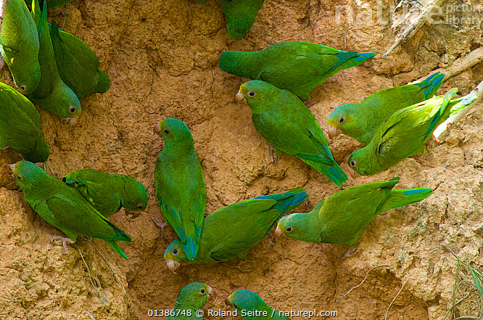 Flock of Cobalt-winged Parakeet (Brotogeris cyanoptera) feeding on clay which provides some minerals they require. Madre de Dios, Peru, September.  ,  BEHAVIOUR,BIRDS,FEEDING,FLOCKS,GREEN,GROUPS,PARAKEETS,PARROTS,PERU,SOUTH AMERICA,VERTEBRATES  ,  Roland Seitre