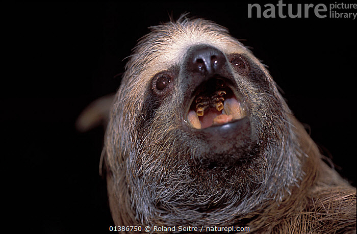 Brown-throated Three-toed Sloth (Bradypus variegatus) portrait with open mouth, showing degenerate teeth. Captive. Aviarios del Caribe Sloth Sanctuary, Costa Rica.  ,  CONSERVATION,COSTA RICA,EDENTATES,MAMMALS,MOUTHS,NP,PORTRAITS,RESERVE,SLOTHS,SOUTH AMERICA,VERTEBRATES,National Park  ,  Roland Seitre