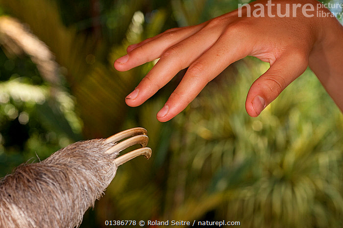 Brown-throated Three Toed Sloth (Bradypus variegatus) claws next to human hand at the sloth orphanage.   Aviarios del Caribe Sloth Refuge, Costa Rica, 2008.  ,  CLAWS,CONSERVATION,COSTA RICA,EDENTATES,HANDS,INTERACTION,MAMMALS,MIXED SPECIES,NP,REHABILITATION,RESERVE,SLOTHS,SOUTH AMERICA,TOUCH,VERTEBRATES,National Park  ,  Roland Seitre