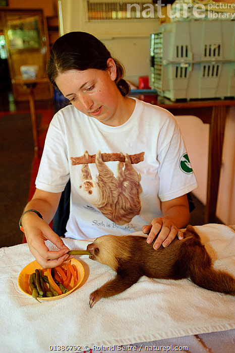 Hoffmann's Two Toed Sloth (Choloepus hoffmanni) baby being fed  vegetables by volunteer.  Aviarios del Caribe Sloth Refuge, Costa Rica, 2008.  ,  BABIES,CONSERVATION,COSTA RICA,EDENTATES,FEEDING,MAMMALS,NP,PEOPLE,REHABILITATION,RESERVE,SLOTHS,SMALL,SOUTH AMERICA,VERTEBRATES,VERTICAL,YOUNG,National Park  ,  Roland Seitre
