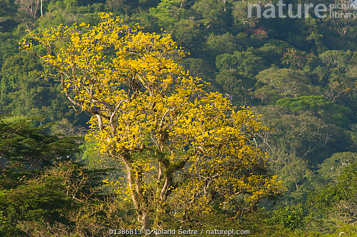 Tree and rainforest in the biological corridor of San Juan La Selva, Costa Rica, 2008.  ,  CENTRAL AMERICA,CONSERVATION,COSTA RICA,FORESTS,LANDSCAPES,TREES,TROPICAL RAINFOREST,PLANTS  ,  Roland Seitre