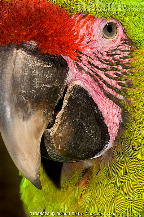 Great Green / Buffon's Macaw (Ara ambiguus) portrait. Richard and Margot Frisius' breeding facilities, La Selva, Costa Rica. 2008. Not available for ringtone/wallpaper use.  ,  BEAKS,BIRDS,CENTRAL AMERICA,COLOURFUL,CONSERVATION,COSTA RICA,ENDANGERED,FACES,FULL FRAME,GREEN,MACAWS,PARROTS,PORTRAITS,PSITTACIDAE,RED,VERTEBRATES,VERTICAL,RINGTONE  ,  Roland Seitre