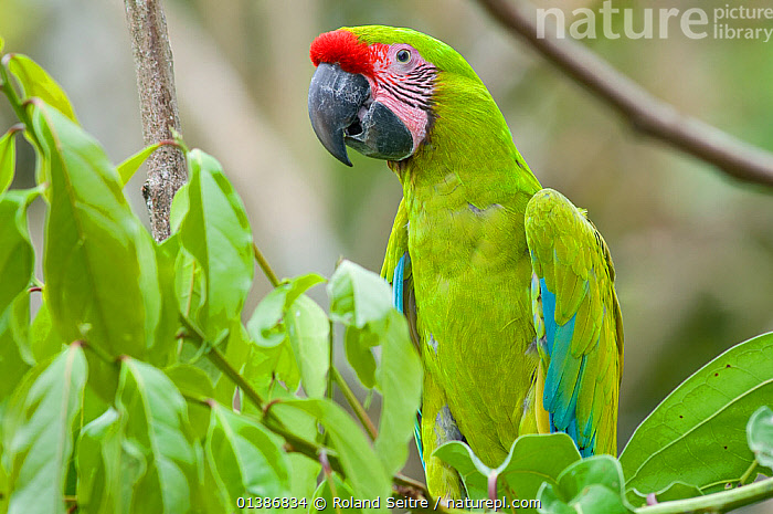 Nature Picture Library - Great Green / Buffon's Macaw (Ara