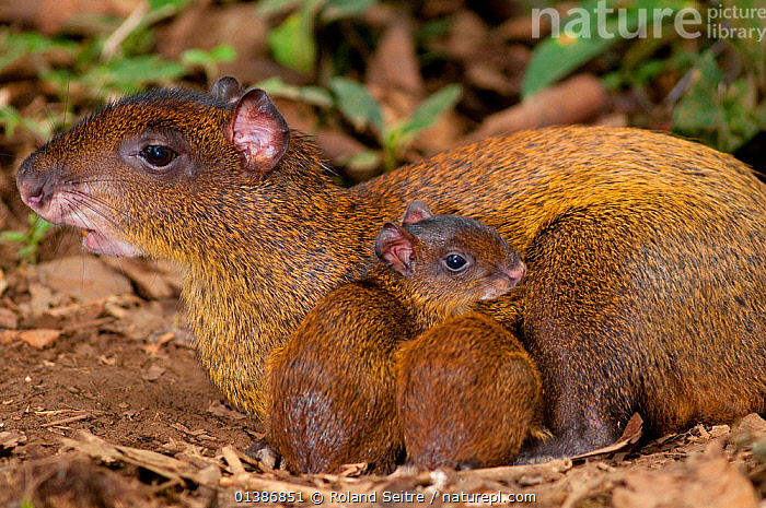 Central American Agouti (Dasyprocta punctata) mother suckling with young.  La Marina Wildlife Rescue Center, Costa Rica., AGOUTIS,CONSERVATION,COSTA RICA,DASYPROCTIDAE,FAMILIES,MAMMALS,MATERNAL,MOTHER BABY,NP,PARENTAL,RESERVE,RODENTS,SOUTH AMERICA,THREE,VERTEBRATES,National Park, Roland Seitre