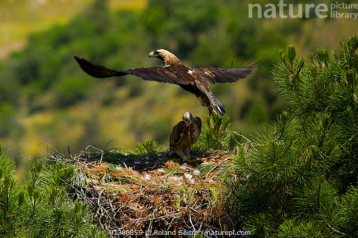 Spanish Imperial Eagle (Aquila adalberti) adult taking flights from chick on nest. Breeding group being monitored for the Andalusian conservation project. Sierra Morena, Andujar, Spain, June 2008.  ,  AERIE,ANDALUSIA,BIRDS,BIRDS OF PREY,CHICKS,CONSERVATION,EAGLES,ENDANGERED,EUROPE,FLYING,IBERIAN EAGLE,NESTS,REINTRODUCTION,SPAIN,VERTEBRATES,VULNERABLE,Raptor  ,  Roland Seitre