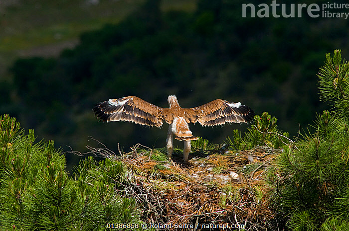 Spanish Imperial Eagle (Aquila adalberti) chick exercising wings on the nest. Breeding group being observed for the Andalusian conservation project. Sierra Morena, Andujar, Spain, June 2008.  ,  AERIE,ANDALUSIA,BIRDS,BIRDS OF PREY,CHICKS,CONSERVATION,EAGLES,ENDANGERED,EUROPE,IBERIAN EAGLE,NESTS,REINTRODUCTION,SPAIN,VERTEBRATES,VULNERABLE,Raptor  ,  Roland Seitre