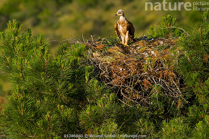 Spanish Imperial Eagle (Aquila adalberti) chick on the nest. Breeding group being observed for the Andalusian conservation project. Sierra Morena, Andujar, Spain, June 2008.  ,  AERIE,ANDALUSIA,BIRDS,BIRDS OF PREY,CHICKS,CONSERVATION,EAGLES,ENDANGERED,EUROPE,IBERIAN EAGLE,NESTS,REINTRODUCTION,SPAIN,VERTEBRATES,VULNERABLE,Raptor  ,  Roland Seitre