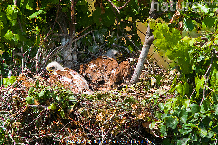 Spanish Imperial Eagle (Aquila adalberti) chicks on the nest. Breeding group being observed for the Andalusian conservation project. Sierra Morena, Andujar, Spain, June 2008.  ,  AERIE,ANDALUSIA,BIRDS,BIRDS OF PREY,CHICKS,CONSERVATION,EAGLES,ENDANGERED,EUROPE,IBERIAN EAGLE,NESTS,REINTRODUCTION,SPAIN,VERTEBRATES,VULNERABLE,Raptor  ,  Roland Seitre