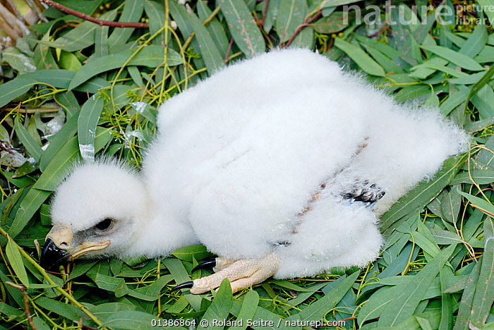 Young Spanish Imperial Eagle (Aquila adalberti) chick in white down, at the Andalusia eagle rearing centre. June 2006.  ,  ANDALUSIA,BIRDS,BIRDS OF PREY,CHICKS,CONSERVATION,EAGLES,ENDANGERED,EUROPE,IBERIAN EAGLE,REINTRODUCTION,SPAIN,VERTEBRATES,VULNERABLE,WHITE,Raptor  ,  Roland Seitre