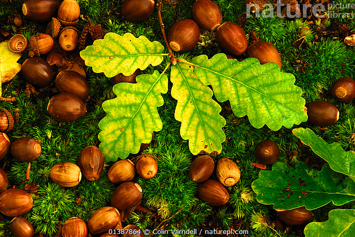 English oak tree (Quercus robur) fallen acorns and leaves on a bed of moss, Oxfordshire, UK October., AUTUMN,BRITISH,CLOSE UPS,DICOTYLEDONS,ENGLAND,FAGACEAE,MOSS,PLANTS,SEEDS,UK,WOODLANDS,Europe,United Kingdom,Catalogue5, Colin Varndell