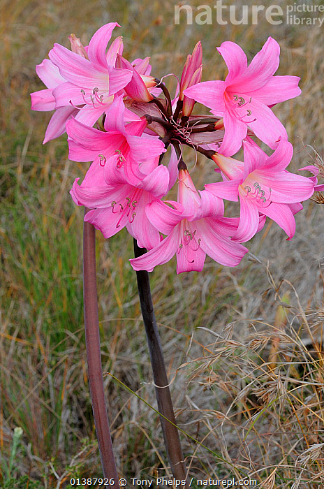 Belladonna lily / Maartblom (Amaryllis belladonna) flowering, deHoop Nature Reserve, Western Cape, South Africa, February  ,  AFRICA,AMARYLLIDACEAE,FLOWERS,FYNBOS,MONOCOTYLEDONS,PINK,PLANTS,RESERVE,SOUTH AFRICA,VERTICAL  ,  Tony Phelps