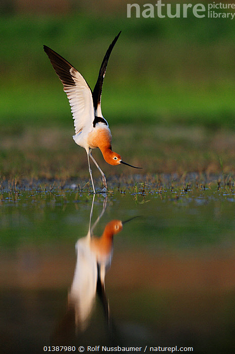 American avocet (Recurvirostra americana) male stretching wings, Dinero, Lake Corpus Christi, South Texas, USA.  ,  AVOCETS,BEHAVIOUR,BIRDS,FRESHWATER,LAKES,MALES,NORTH AMERICA,PORTRAITS,REFLECTIONS,SPRING,STRETCHING,TEXAS,USA,VERTEBRATES,VERTICAL,WADERS,WATER,WETLANDS,WINGS  ,  Rolf Nussbaumer