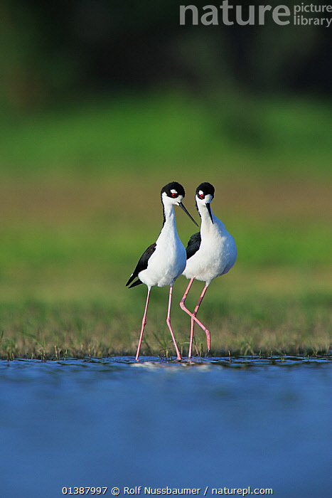 Black-necked stilt (Himantopus mexicanus) pair displaying, Dinero, Lake Corpus Christi, South Texas, USA.  ,  AFFECTIONATE,BEHAVIOUR,BIRDS,BLACK,COURTSHIP,DISPLAY,FEMALES,FRESHWATER,INTERACTION,LAKES,MALE FEMALE PAIR,MALES,NORTH AMERICA,PORTRAITS,REPRODUCTION,STILTS,TEXAS,USA,VERTEBRATES,VERTICAL,WADERS,WATER,WETLANDS,WHITE,Communication  ,  Rolf Nussbaumer