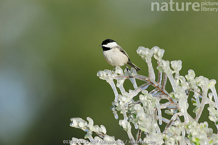 Carolina chickadee (Poecile carolinensis) adult perched on icy branch, Dinero, Lake Corpus Christi, South Texas, USA.  ,  BIRDS, BRANCHES, FROST, ICE, NORTH-AMERICA, Paridae, PORTRAITS, songbirds, texas, TITS, USA, VERTEBRATES, WHITE, WINTER, WOODLANDS,Weather,North America  ,  Rolf Nussbaumer