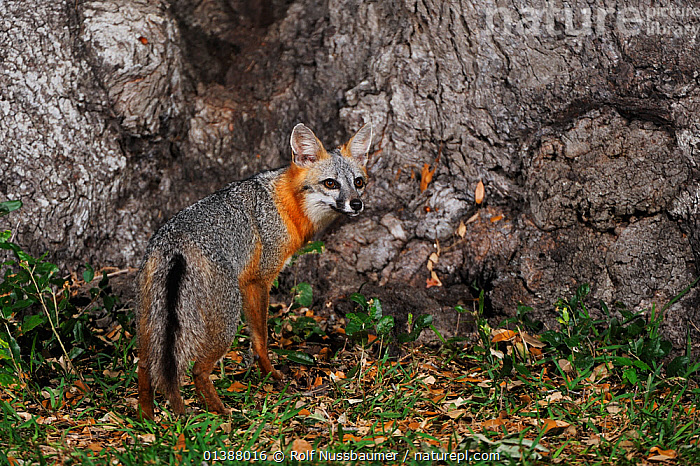 Eastern grey fox (Urocyon cinereoargenteus) adult at night standing by Oak tree (Quercus virginiana) Dinero, Lake Corpus Christi, South Texas, USA.  ,  CANIDAE,CANIDS,CARNIVORES,DICOTYLEDONS,FAGACEAE,FORESTS,FOXES,HABITAT,LOOKING AT CAMERA,MAMMALS,NIGHT,NOCTURNAL,NORTH AMERICA,PLANTS,PORTRAITS,TEXAS,TREES,USA,VERTEBRATES,WOODLANDS,Dogs  ,  Rolf Nussbaumer