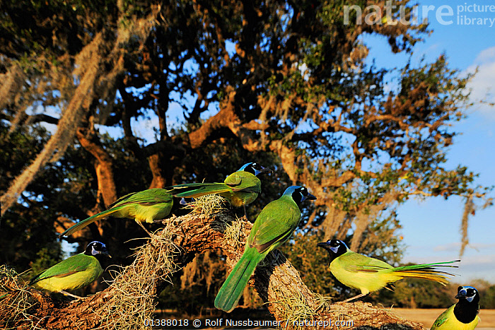 Green jay (Cyanocorax yncas) flock perched in Oak tree (Quercus virginiana) Dinero, Lake Corpus Christi, South Texas, USA.  ,  BEHAVIOUR,BIRDS,BRANCHES,COLOURFUL,CORVIDAE,FLOCKS,FORESTS,GREEN,GROUPS,INTERACTION,JAYS,NORTH AMERICA,PORTRAITS,SONGBIRDS,TEXAS,TREES,USA,VERTEBRATES,WINTER,WOODLANDS,YELLOW,PLANTS  ,  Rolf Nussbaumer