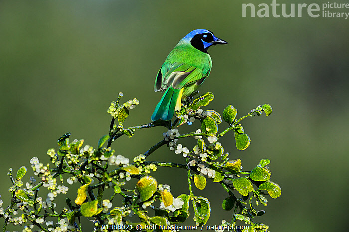 Green jay (Cyanocorax yncas) adult perched on ice covered Christmas mistletoe (Phoradendron tomentosum) Dinero, Lake Corpus Christi, South Texas, USA.  ,  BIRDS,BRANCHES,COLOURFUL,CORVIDAE,DICOTYLEDONS,FORESTS,FROST,GREEN,ICE,JAYS,LEAVES,NORTH AMERICA,PLANTS,PORTRAITS,SONGBIRDS,TEXAS,TREES,USA,VERTEBRATES,VISCACEAE,WINTER,WOODLANDS,YELLOW,Weather  ,  Rolf Nussbaumer