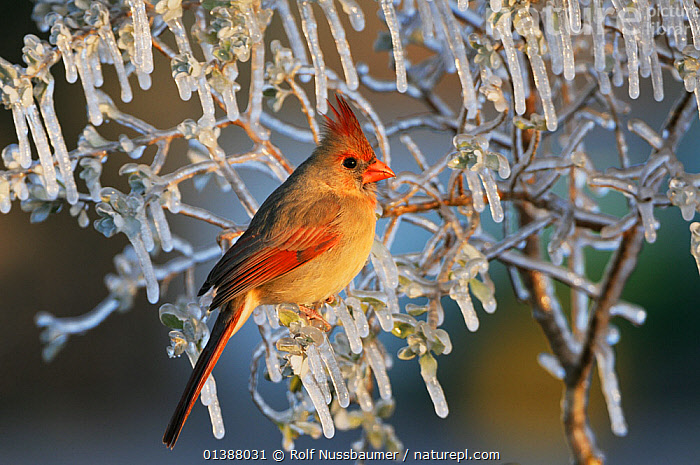 Northern cardinal (Cardinalis cardinalis) female perched in ice covered bush, Dinero, Lake Corpus Christi, South Texas, USA.  ,  BIRDS,BRANCHES,CARDINALS,COLOURFUL,FEMALES,FROST,ICE,NORTH AMERICA,NORTHERN CARDINAL,PORTRAITS,PROFILE,TEXAS,USA,VERTEBRATES,WINTER,WOODLANDS,Weather  ,  Rolf Nussbaumer