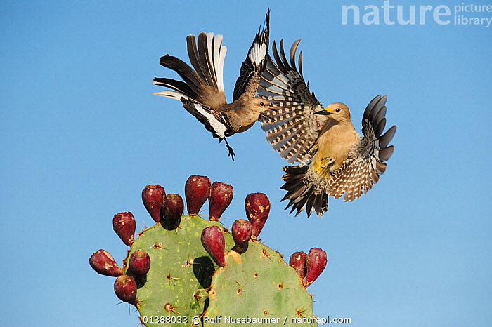 Northern mockingbird (Mimus polyglottos) adult fighting with Golden-fronted Woodpecker (Melanerpes aurifrons) female over Texas Prickly Pear Cactus (Opuntia lindheimeri) Dinero, Lake Corpus Christi, South Texas, USA., ACTION, AGGRESSION, BEHAVIOUR, BIRDS, CACTACEAE, CACTI, CACTUS, DOMINANCE, FEMALES, FIGHTING, FLYING, INTERACTION, LAKES, MALES, MOCKINGBIRDS, MOVEMENT, NORTH-AMERICA, PORTRAITS, TERRITORIAL, texas, USA, VERTEBRATES, WOODPECKERS,Plants,North America, Rolf Nussbaumer