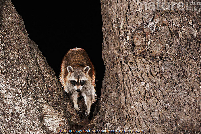 Northern raccoon (Procyon lotor) adult standing in crook of oak tree, Christi, South Texas, USA.  ,  BACKLIT,BRANCHES,CARNIVORES,FORESTS,MAMMALS,NIGHT,NORTH AMERICA,RACCOONS,STANDING,TEXAS,TREES,TRUNKS,USA,VERTEBRATES,WOODLANDS,PLANTS  ,  Rolf Nussbaumer