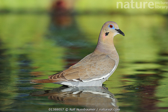White-winged dove (Zenaida asiatica) adult standing in water, Dinero, Lake Corpus Christi, South Texas, USA.  ,  BATHING,BEHAVIOUR,BIRDS,COLUMBIFORMES,DOVES,FRESHWATER,MARSHES,NORTH AMERICA,PORTRAITS,PROFILE,REFLECTIONS,RIPPLES,STANDING,TEXAS,USA,VERTEBRATES,WATER,WETLANDS  ,  Rolf Nussbaumer