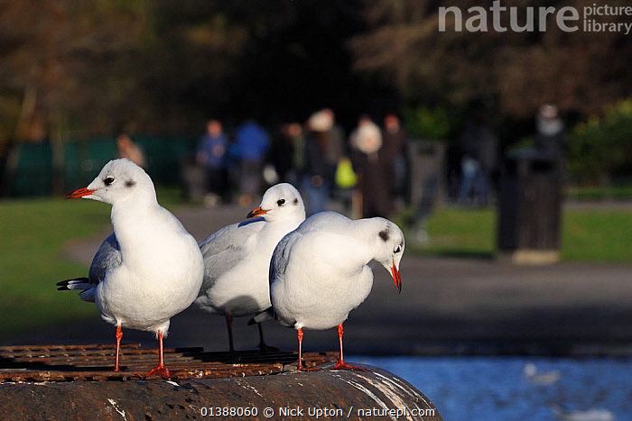 Three Black-headed gulls (Chroicocephalus ridibundus) in winter plumage, standing on metal platform in Regent's Park boating lake with people in the background, London, UK, January.  ,  BIRDS, CITIES, ENGLAND, EUROPE, GROUPS, GULLS, LAKES, Laridae, Parks, PEOPLE, PONDS, SEABIRDS, THREE, TOWNS, UK, URBAN, VERTEBRATES, WATER, WHITE, WINTER,United Kingdom  ,  Nick Upton