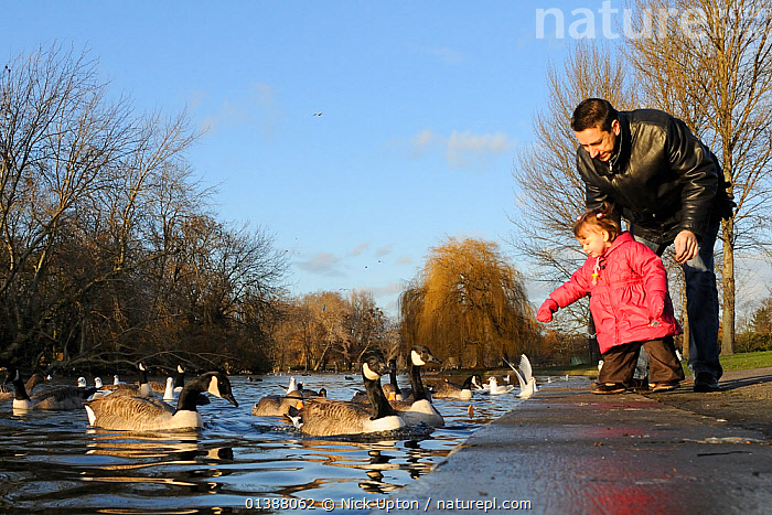 Father and child feeding Canada geese (Branta candensis) on the Boating lake, Regent's Park, London, UK, January.  ,  ANATIDAE,ANSERINAE,BIRDS,CAUCASIAN,CHILD,CHILDREN,CITIES,ENGLAND,EUROPE,FAMILIES,FATHERS,FEEDING,FLOCKS,GEESE,LAKES,LOW ANGLE SHOT,PARENTS,PARKS,PEOPLE,PONDS,TOWNS,TREES,UK,UNITED,URBAN,VERTEBRATES,WATER,WATERFOWL,WILDFOWL,WINTER,PLANTS,United Kingdom  ,  Nick Upton