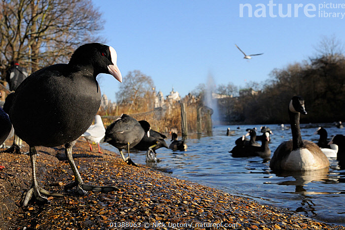 Low angle view of Coots (Fulica atra) and a Canada goose (Branta canadensis) in St. James's park, London, UK, January.  ,  ANSERINAE,BIRDS,BLACK,BUILDINGS,CITIES,COOTS,ENGLAND,EUROPE,GEESE,GROUPS,LAKES,LOW ANGLE SHOT,MIXED SPECIES,PARKS,PEOPLE,PONDS,RALLIDAE,TOWNS,UK,URBAN,VERTEBRATES,WATER,WATERFOWL,WHITE,WILDFOWL,WINTER,United Kingdom  ,  Nick Upton