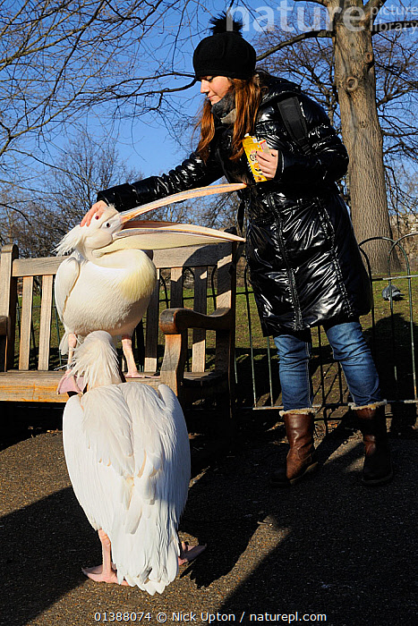 Woman patting Great white / Eastern white pelican (Pelecanus onocrotalus) on the head as it demands food, St.James's Park, London, UK, January.  ,  BEGGING,BIRDS,CITIES,ENGLAND,EUROPE,FEEDING,GROOMING,INTERACTION,PARKS,PELICANIDAE,PELICANS,PEOPLE,PORTRAITS,SEABIRDS,STROKING,TOURISTS,TOWNS,TREES,TWO,UK,URBAN,VERTEBRATES,VERTICAL,WHITE,WINTER,WOMAN,PLANTS,United Kingdom  ,  Nick Upton