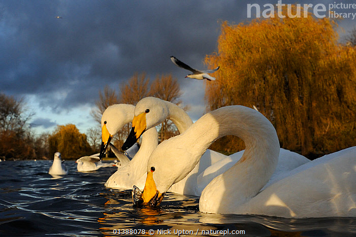 Three Whooper swans (Cygnus cygnus) and Black-headed gulls (Larus ridibundus) on lake in winter sunshine with storm clouds above, Regent's Park, London, UK, December.  ,  ANATIDAE,ANSERINAE,BIRDS,CITIES,ENGLAND,EUROPE,FLOCKS,GROUPS,GULLS,LAKES,LARIDAE,MIXED SPECIES,PARKS,PONDS,SWANS,TOWNS,UK,URBAN,VERTEBRATES,WATER,WATERFOWL,WEATHER,WHITE,WILDFOWL,WINTER,United Kingdom  ,  Nick Upton