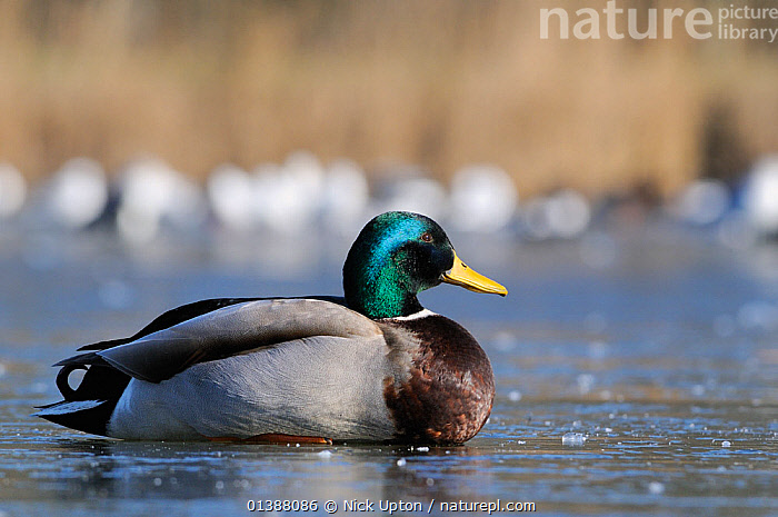 Mallard (Anas platyrhynchos) drake sitting on frozen lake, Wiltshire, UK, February  ,  BIRDS,DUCK,DUCKS,EUROPE,ICE,LAKES,MALES,PROFILE,SITTING,UK,VERTEBRATES,WATERFOWL,United Kingdom  ,  Nick Upton