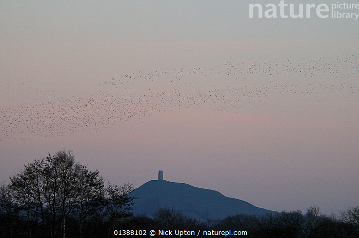 Flock of Common starlings (Sturnus vulgaris) flying to a night time roost at Ham Wall RSPB reserve with Glastonbury Tor in the background, Somerset Levels, UK, January  ,  BIRDS,DUSK,EUROPE,FLOCKS,FLYING,GROUPS,SILHOUETTES,SONGBIRDS,STARLINGS,STURNIDAE,UK,VERTEBRATES,WETLANDS,United Kingdom  ,  Nick Upton