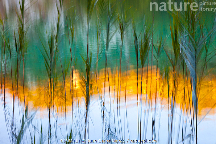 Abstract of reeds in front of lake with reflections, Plitvice Lakes National Park, Lika, Croatia, Europe, October 2011  ,  ABSTRACT,ARTY SHOTS,catalogue5,CLOSE UPS,CROATIA,EASTERN EUROPE,EUROPE,full frame,GRASSES,Lake,LAKES,LIKA,nature,Nobody,NP,outdoors,Plitvice Lakes National Park,reeds,REFLECTIONS,repetition,RESERVE,YELLOW,National Park,,Surreal,  ,  Juan Carlos Munoz