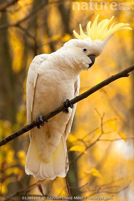 Sulphur-crested cockatoo (Cacatua galerita) perched on branch, Grampians National Park, Victoria, Australia, May  ,  AUSTRALIA,BIRDS,CACATUIDAE,COCKATOOS,NP,PARROTS,PORTRAITS,RESERVE,VERTEBRATES,VERTICAL,WHITE,National Park  ,  Steven David Miller