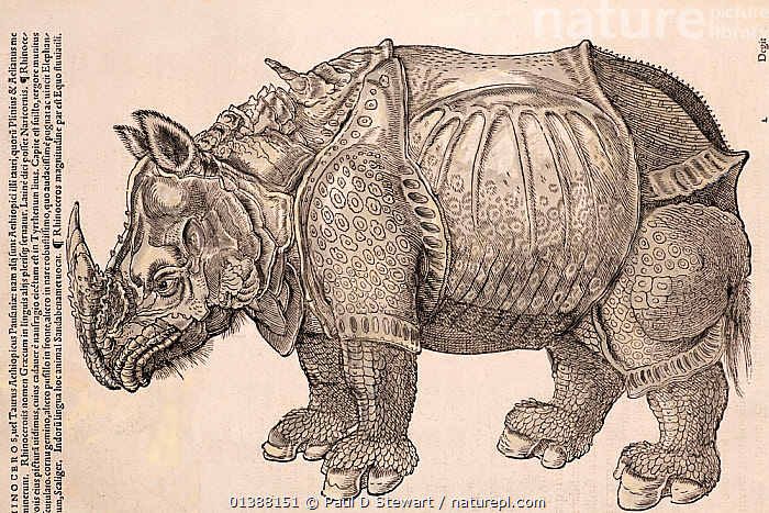 Illustration of Indian/Asian Rhinoceros (Rhinoceros unicornis), Gesner Woodcut from 'Icones Animalium' 1560, reproduced from 1551. Published Christoph Froschover, Zurich. Gesner reproduces this image faithfully from the famous 1515 woodcut by Durer, (who himself had only sketches to go on). The particular individual featured here was the gift of a Sultan, taken from India in January 1515 and arriving in Lisbon in May. People were astounded to see this animal - hitherto the only existing reports were in the accounts of the ancients such as Pliny. None had been seen in Europe for over 1000 years. Confirming Pliny's account was a vital validation of the texts from antiquity for renaissance scholars. The animal allegedly died in a shipwreck - hence the rather fanciful drawing of Durer and Gesner who never actually saw it. This image remained an icon for for centuries.  ,  16TH CENTURY,ANIMALS,BESTIARY,COLOUR,CONRAD GESNER,CONRAD GESSNER,DURER,ENDANGERED,FANTASY,FOLKLORE,HISTORIAE,HISTORY,ICONES ANIMALIUM,ILLUSTRATION,ILLUSTRATIONS,MAMMALS,MYTH,MYTHICAL,PERISSODACTYLA,RENAISSANCE,RHINOCEROS,RHINOCEROSES,RHINOCEROTIDAE,VERTEBRATES,VULNERABLE,WOODCUT , rhino, rhinos, rhinoceros, , rhino, rhinos, rhinoceros,  ,  Paul D Stewart