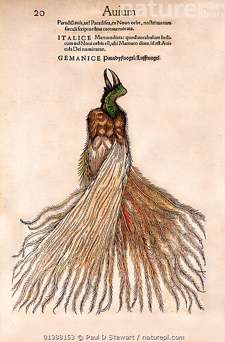 Woodcut illustration of Bird of Paradise (Paradisaea). From Gesner's 'Icones Animalium', published by Christof Froschover, Zurich (1560). When Magellan returned as the first to sail around the world in 1522, it brought back skins of the lesser bird of Paradise, Paradisaea minor. The birds caused a European sensation, not least because they had no bones and no legs. We now know this is the common local way of preserving these birds for trade. But naturalists of the time claimed 'they do all their business in flight'. So it became the manucodiata 'the bird of god that protects warriors in battle from wounds'. Gesner states' the people of the Mollucca islands bear witness that this very beautiful bird, which never sits upon the earth or any other thing, is born in Paradise'.  ,  16TH CENTURY,ANIMALIUM,ANIMALS,BESTIARY,BIRD,COLOUR,CONRAD GESNER,CONRAD GESSNER,FANTASY,FOLKLORE,HEAVEN,HISTORIAE,HISTORIC,HISTORICAL,HISTORY,ICONES,ILLUSTRATION,ILLUSTRATIONS,LESSER,MAGELLAN,MANUCODIATA,MINOR,MISTAKE,MYTH,NATURAL,PARADISAEA,PARADISE,RENAISSANCE,VERTICAL,WOODCUT  ,  Paul D Stewart