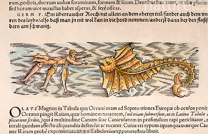 Woodcut illustration of sharks attacking a man, with a ray coming to help, with old colouring. From Gesner 'Icones Animalium' publ. Christof Froschover, Zurich, 1560. This scene is copied by Gesner from an earlier map by Olaus Magnus and is one of the first to describe a shark attack. The text describes how a man is voraciously attacked by sharks (dogfish) - but then a ray appears to 'avenge their crimes - armed by nature with its fins. In a rushing movement it drives of the waylayers who are dragging the man down, and urges him as best it can to swim away'. Another contrasting interpretation however has been that fishermen believed the remoras on large rays brought the Ray human prey to devour! (Wendt 1956).  ,  16TH CENTURY,AGES,ANIMALIUM,ANIMALS,ATTACK,BESTIARY,COLOUR,CONRAD GESNER,CONRAD GESSNER,DOGFISH,FOLKLORE,HISTORIAE,HISTORIC,HISTORICAL,HISTORY,ICONES,ILLUSTRATION,ILLUSTRATIONS,MAGNUS,MAN,MARINE,MONSTER,MYTH,MYTHICAL,NATURAL,RAY,SEA,SHARK,SHARKS,WOODCUT,PEOPLE  ,  Paul D Stewart
