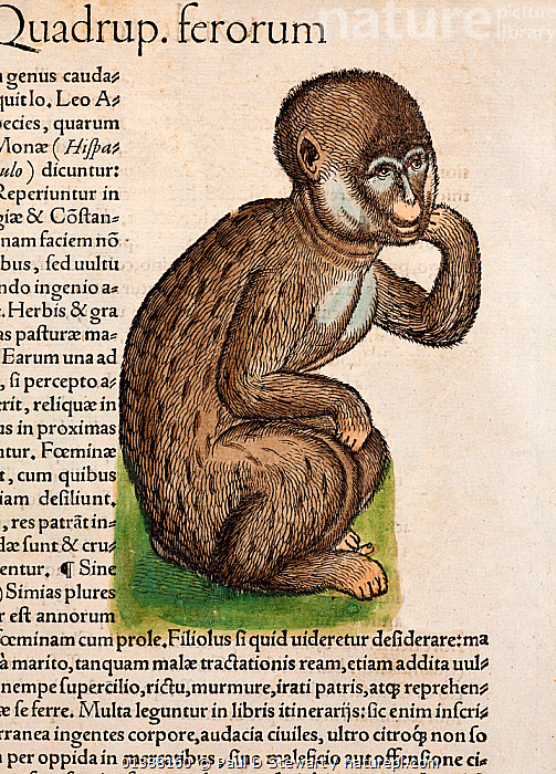 Woodcut illustration with old colouring of Barbary Macaque monkey (Macaca sylvanus) identified as 'Ein Aff' (An ape). From Gesner's 'Icones Animalium' publ. Christof Froschover, Zurich, 1560. The division between tailed and tail-less being the origin of the historical (pre-scientific) division between 'monkeys' and 'apes'. The barbary macaque is in fact a tail-less monkey rather than part of the taxon within which we now include apes and man. The Barbary Macaque is the only primate whose range includes Europe, and hence was one of the best known in early times.  ,  16TH CENTURY,AGES,ANIMALIUM,ANIMALS,APE,BARBARY,BARBARY APE,BESTIARY,COLOUR,CONRAD GESNER,CONRAD GESSNER,ENDANGERED,FOLKLORE,HISTORIAE,HISTORY,HOMINID,HOMINOIDEA,ICONES,ILLUSTRATION,ILLUSTRATIONS,MACACA,MACAQUES,MAMMALS,MONKEY,MONKEYS,NATURAL,PRIMATE,PRIMATES,RENAISSANCE,SATYR,SIMIAN,SYLVANUS,VERTEBRATES,VERTICAL,WOODCUT  ,  Paul D Stewart