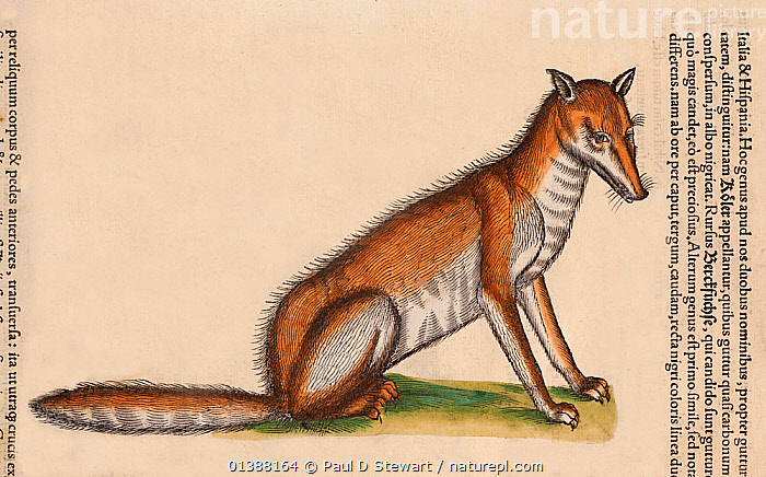 Red Fox (Vulpes vulpes) portrait detail from a woodcut with old colouring. Conrad Gesner 'Icones Animalium' publ. Christof Froschover, Zurich, 1560. Gesner's artist catches the perceived intelligent and wily nature of the fox, even if the proportions are strange in this fascinating early woodcut that verges on caricature. In this account Gesner relates that 'when the fox sees flocks of birds flying she lies prone on the ground and at the same time shuts her eyes, and placing her snout on the ground will hold her breath. The fox appears sleeping or rather dead. Thinking this, the birds fly down to sit on her and to mock. But the fox then devours them with her gaping mouth'.  ,  16TH CENTURY,AGES,ANIMALIUM,ANIMALS,BESTIARY,CANIDAE,CANIDS,CARNIVORES,COLOUR,CONRAD GESNER,CONRAD GESSNER,FOLKLORE,FOX,FOXES,HISTORIAE,HISTORY,ICONES,ILLUSTRATION,ILLUSTRATIONS,MAMMALS,NATURAL,PORTRAIT,RENAISSANCE,VERTEBRATES,VULPES,WOODCUT,Dogs  ,  Paul D Stewart