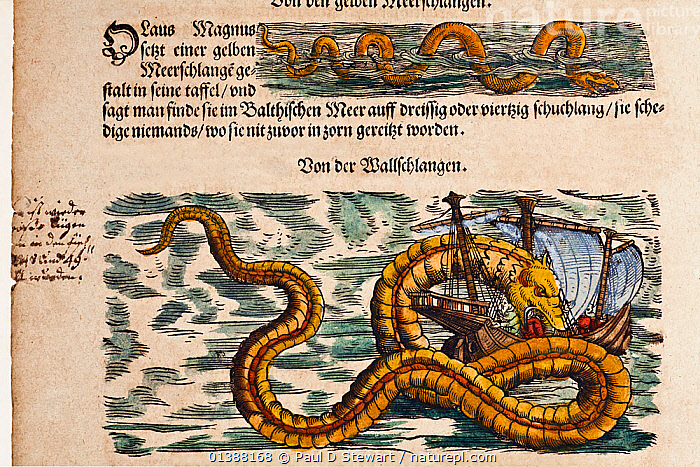 Illustration of Sea Serpents from Gesner's 'Historia Animalium', volume 4, 1558. Later hand colouring. Italic marginalia by contemporary scholar. Gessner's accounts included creatures which exist, and many creatures which we now know do not. There were small sea snakes in the tropics, and there seemed every chance to scholars in the 16th Century that leviathan Sea Serpents roamed the deep. They may hardly have seemed stranger than the great whales. Gessner's accounts were based on first hand reports as well as the 'authority' of earlier authors such as Aristotle and Pliny.  ,  16TH CENTURY,BEAST,BOATS,COLOR,COLOUR,CONRAD GESNER,CONRAD GESSNER,DRAGON,EXPLORATION,EXPLORER,FANTASTIC,HISTORIC,HISTORICAL,HISTORY,ILLUSTRATION,ILLUSTRATIONS,LOCH,MONSTER,MYTH,MYTHICAL,MYTHOLOGY ,NATURAL,NESS,RENAISSANCE,SAILORS,SEA,SERPENT,SHIP,SNAKE,SNAKES  ,  Paul D Stewart