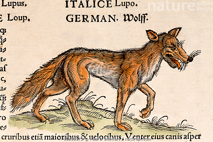 Woodcut illustration of European wolf (Canis lupus). From Conrad Gesner's 'Icones Animalium' published by Christof Froschover, Zurich, 1560.  ,  16TH CENTURY,ANIMALIUM,ANIMALS,BESTIARY,CANIDAE,CANIDS,CANIS,CARNIVORES,COLOUR,CONRAD GESNER,CONRAD GESSNER,FAIRY,FOLKLORE,HISTORIAE,HISTORY,ICONES,ILLUSTRATION,ILLUSTRATIONS,LUPUS,MAMMALS,NATURAL,RENAISSANCE,TALE,VERTEBRATES,WOLF,WOLVES,WOODCUT,Dogs  ,  Paul D Stewart