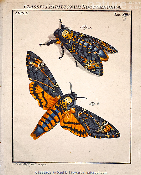 Illustration of Death's Head Hawk Moth (Acherontia atropos) by August Johann Roesel von Rosenhof with his own copperplate, handcolouring and plate correction, 1744. From 'Der monatlich-herausgekommenen Insecten-Belustigungen Erste Sammlung' (Insect Amusements) Rosenhof was a miniature painter who became fascinated by the work of Maria Sibylla Merian and decided to emulate her. His entomology art work is one of the finest of the 18th Century, as demonstrated by this virtuoso print of the Death's Head Hawkmoth, Acherontia atropos. It shows the moth in a natural and a set pose. This species, whose larvae will feed on solanacea leaves (including potato), used to be a regular visitor to bee hives of Apis melifera where it raids for honey. The moth mimics the scent of honey bees to reduce attack and is covered in dense hairlike scales. See matching plate of larvae and pupae.  ,  18TH CENTURY,19TH CENTURY,ACHERONTIA,ART,ENTOMOLOGY,HAWK,HAWKMOTHS,ILLUSTRATION,ILLUSTRATIONS,INSECTS,INVERTEBRATES,LEPIDOPTERA,METAMORPHOSIS,MIMICRY,MOTH,MOTHS,SCIENTIFIC,Growth  ,  Paul D Stewart