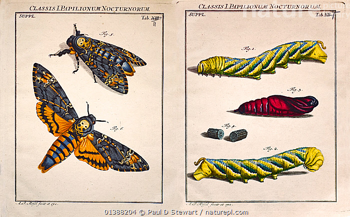Illustration of Death's Head Hawk Moth (Acherontia atropos), 1744, by August Johann Roesel von Rosenhof copperplate art and engraving with his own handcolouring and plate correction. From 'Der monatlich-herausgekommenen Insecten-Belustigungen Erste Sammlung' (Insect Amusements) Rosenhof was a miniature painter who became fascinated by the work of Maria Sibylla Merian and decided to emulate her. His entomology art work is one of the finest of the 18th Century, as demonstrated by this virtuoso print of the Death's Head Hawkmoth, Acherontia atropos. It shows the moth in a natural and a set pose. This species, whose larvae will feed on solanacea leaves (including potato), used to be a regular visitor to bee hives of Apis melifera where it raids for honey. The moth mimics the scent of honey bees to reduce attack and is covered in dense hairlike scales. See matching plate of larvae and pupae.  ,  18TH CENTURY,19TH CENTURY,ACHERONTIA,ART,ENTOMOLOGY,HAWKMOTHS,HISTORIC,HISTORICAL ILLUSTRATIONS,HISTORY,ILLUSTRATION,ILLUSTRATIONS,INSECTS,INVERTEBRATES,LEPIDOPTERA,METAMORPHOSIS,MOTH,MOTHS,SCIENTIFIC,Growth  ,  Paul D Stewart
