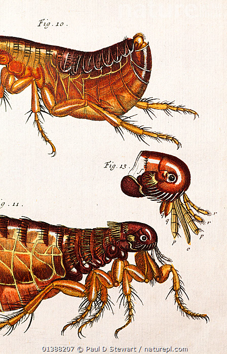 Illustration of human Flea (Pulex irritans). 1744 August Johann Roesel von Rosenhof with copperplate art and engraving with handcolouring. From 'Der monatlich-herausgekommenen Insecten-Belustigungen Erste Sammlung' (Insect Amusements) Rosenhof was a miniature painter who became fascinated by the work of Maria Sibylla Merian and decided to emulate her. His entomology artwork is among the finest of the 18th Century. Though this artwork is influenced by Hooke's famous print in the 'Micrographia' it is clear Rosenhof has made his own observations with regard to colour.  ,  18TH CENTURY,19TH CENTURY,ART,ARTHROPODS,ENTOMOLOGY,FLEA,FLEAS,ILLUSTRATIONS,INSECTS,INVERTEBRATES,IRRITANS,PARASITES,PESTIS,PESTS,PLAGUE,PULEX,ROSENHOFF,SCIENTIFIC,SIPHONATERA,VERTICAL  ,  Paul D Stewart