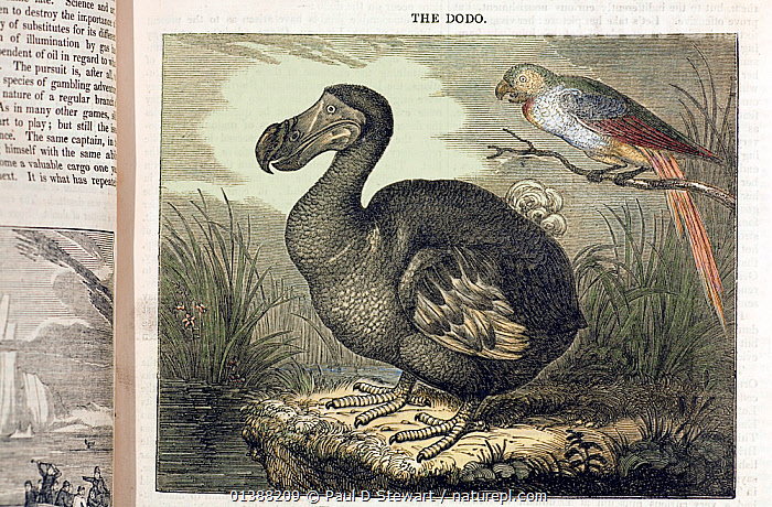 Illustration of Dodo (Raphus cucullatus) and Mauritius parrot; woodblock print with later handcolouring from the Penny Magazine (London, June 1, 1833). Print after similar painting by C. Edwards 1750 and particularly the painting by W. Hodges 1773. This is the so-called 'fat' version of dodo which inspired Lewis Caroll's Dodo in 'Alice in Wonderland' (Caroll referred to himself as 'Dodo' as he stammered his real name Dodgson). 'Thinner' version dodos are now more favoured following recent skeletal reconstructions. The dodo Raphus cucullatus was a flightless endemic of Mauritius. Discovered at the end of the 16th century is was extinct by the end of the 17th century. Since that time its name has been synonomous with human caused extinctions.  ,  16TH CENTURY,17TH CENTURY,19TH CENTURY,BIRD,BIRDS,CUCULLATUS,DODO,ENDEMIC,EXTINCT,EXTINCTION,HISTORIC,HISTORICAL ILLUSTRATIONS,ILLUSTRATIONS,MAURITIUS,MIXED SPECIES,ORNITHOLOGY,PIGEON,RAPHIDAE,RAPHUS,VERTEBRATES  ,  Paul D Stewart