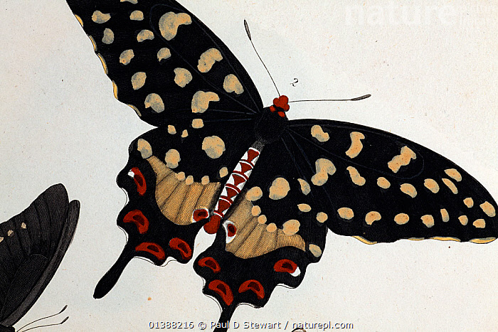 Illustration of Madagascan Pipevine Swallowtail (Pharmacophagus antenor / Batthus philenor, Drury 1773). Strong late 18th Century illustration with contemporary colouring following its discovery. As a member of the Troidini tribe this species is more akin to the South East Asian fauna than the African - despite Madagascar's proximity to Africa. This general Malagasy trend is a result of the strange biogeography of Madagascar that includes Gondwanan survivals, Laurasian stepping stones, and long distance dispersal via the prevailing easterly winds and Indian Ocean currents. One specimen (perhaps this one) entered the vast collection of William Hunter (brother of Jon Hunter) at the end of the 18th century (now the Hunterian collection Glasgow). An article by EG Hancock 2008 outlines the butterflies discovery in relation to William Hunter's collection.  ,  18TH CENTURY,19TH CENTURY,BUTTERFLIES,BUTTERFLY,COLLECTING,COLLECTION,COLOUR,DRURY,ENTOMOLOGIST,ENTOMOLOGY,EXOTIC,EXOTICA,HUNTER,ILLUSTRATIONS,INSECTS,INVERTEBRATES,LEPIDOPTERA,MADAGASCAR,PAPILIO,PHARMACOPHAGUS,SWALLOWTAIL,SWALLOWTAIL BUTTERFLIES,TROIDINI,WILLIAM,,Dispersal,  ,  Paul D Stewart