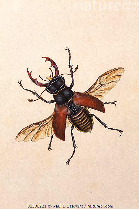 Copperplate engraving of a Stag Beetle (Lucanus cervus), with hand colouring possibly by Donovan himself. While most plates were thinly coloured to tint the interstices of the lines of the engraving beneath, Donovan laid the paint on more heavily so that each illustration becomes a miniature in its own right. The stag beetle had been an iconic insect for illustrators since Albrecht Durer's famous watercolour in 1505.  ,  18TH CENTURY,19TH CENTURY,ANTIQUE,BEETLE,BEETLES,BRITISH,CERVUS,COLEOPTERA,COLOUR,DONOVAN,EDWARD,ENTOMOLOGY,EUROPEAN,HISTORY,ILLUSTRATION,ILLUSTRATIONS,INSECT,INSECTS,INVERTEBRATES,LUCANIDAE,LUCANUS,NATURAL,PAINTING,PRINT,STAG,STAG BEETLES,VERTICAL  ,  Paul D Stewart